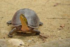 Asian box turtle Royalty Free Stock Photos
