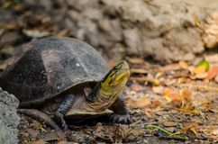 Asian box turtle walking on the ground. Cuora amboinensis are turtles of the genus Cuora in the family Geoemydidae stock photo