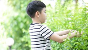 Asian boy cuts off green leaf tree in the garden . stock video footage
