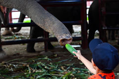 Asian boy feeding a cucumber to elephant Stock Images