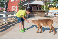 Asian boy Feeding a Sheep Royalty Free Stock Images