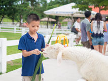 Asian boy Feeding a Sheep Royalty Free Stock Photos