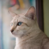 Asian brown cat Stock Photos