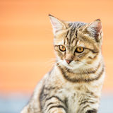 Asian brown cat Stock Images