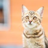 Asian brown cat royalty free stock image