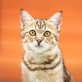 Asian brown cat Stock Photo