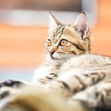 Asian brown cat Royalty Free Stock Images