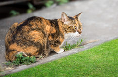 Asian brown cat Royalty Free Stock Image