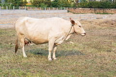 Asian brown cow standing in the farm Stock Photography