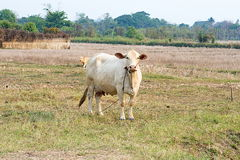 Asian brown cow standing in the farm Royalty Free Stock Image
