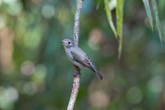 Asian brown flycatcher Royalty Free Stock Images