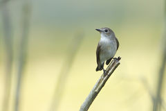 Asian brown flycatcher bird in Nepal Stock Image