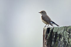 Asian brown flycatcher bird in Nepal Stock Photos