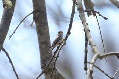 Asian brown flycatcher on the branch of tree Royalty Free Stock Photography