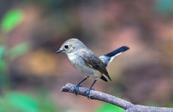 Asian brown Flycatcher (Muscicapa dauurica) on branch in Doiinth Royalty Free Stock Photography