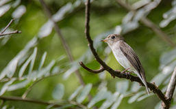 Asian brown flycatcher Stock Photo