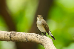 Asian Brown Flycatcher Royalty Free Stock Photo