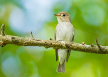 Asian Brown Flycatcher Stock Photography