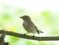 Asian Brown Flycatcher Stock Images