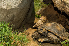 Asian Brown Tortoise Stock Photography