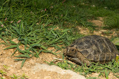 Asian Brown Tortoise Royalty Free Stock Photography