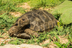 Asian Brown Tortoise Stock Images