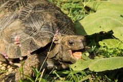 Asian Brown Tortoise Stock Photos