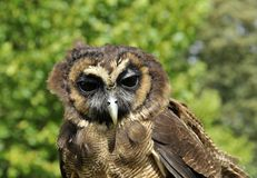Asian brown wood owl Stock Photo