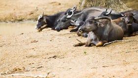 Asian buffalo. Herd of buffalo in Yala national park, Sri Lanka Stock Images
