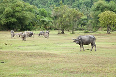 Asian buffalo. They are walking back home Royalty Free Stock Photography