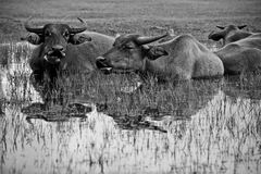 Asian buffalo. The buffalo family relaxing in the pool Stock Photo