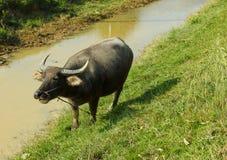 Asian buffalo Stock Photo