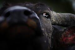 Asian buffalo. Royalty Free Stock Image