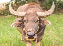 Asian buffalo in the field Royalty Free Stock Photography