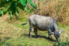 Asian buffalo in the field Royalty Free Stock Photos