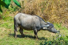 Asian buffalo in the field Stock Photos