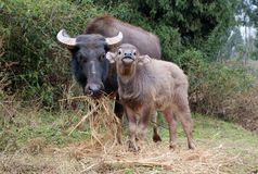 Asian buffalo Stock Photo