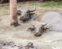 Asian buffalo in muddy water Stock Photos