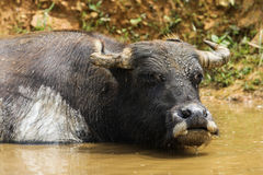 Asian buffalo Stock Image
