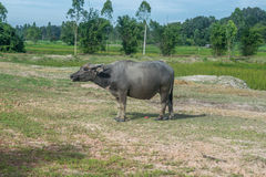 Asian buffalo in rural Thailand. Asian water buffalo in the lake at Thailand. Asian buffalo in rural Thailand. Asian water buffalo in the lake at Thailand royalty free stock photography