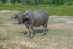 Asian buffalo in rural Thailand. Asian water buffalo in the lake at Thailand. Asian buffalo in rural Thailand. Asian water buffalo in the lake at Thailand stock photo