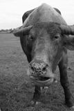 Asian buffalo in Thailand. Blackwhite Royalty Free Stock Images