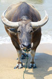 Asian Buffalo. Theclose-up of Asian Buffalo with big horn royalty free stock image