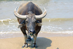 Asian Buffalo. Theclose-up of Asian Buffalo with big horn stock photos