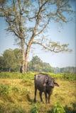Asian buffalo Royalty Free Stock Images