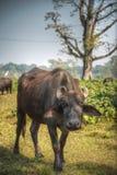 Asian buffalo Stock Photos