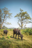 Asian buffalo Royalty Free Stock Photos
