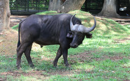 Asian buffaloes Stock Images