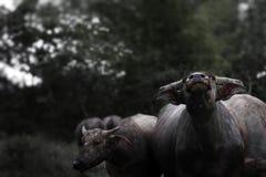 Asian buffaloes. Royalty Free Stock Image