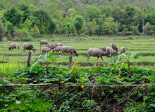 Asian Buffaloes in a field of grass Royalty Free Stock Photos